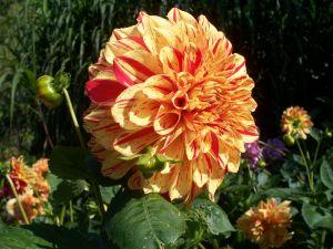 Dahlien haben wunderschöne Blüten