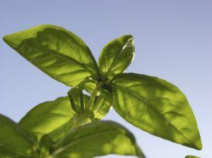 Basilikum eignet sich hervorragend zur Anpflanzung im Kräutergarten