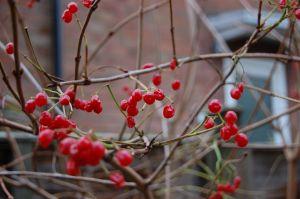 Auch die Cranberries gehören in deutschen Gärten noch zu den Raritäten