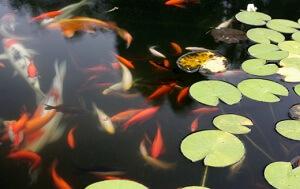 Bei der Auswahl der Fische für den Gartenteich sollte man einiges beachten