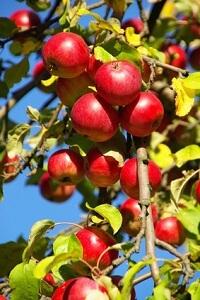 Nicht alle Apfelsorten sind für den heimischen Garten geeignet