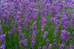 Der Lavendel ist wegen seiner ätherischen Öle sehr beliebt