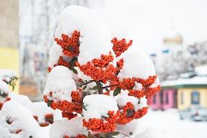 Mit Beeren-Sträuchern kann man Highlights im winterlichen Garten schaffen