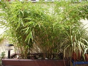 Der Exotische Bambus Auf Der Terrasse | Garten-ratgeber.net ... Bambus Im Garten Tipps