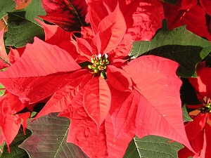 die poinsettie der weihnachtsstern euphorbia pulcherrima garten garten. Black Bedroom Furniture Sets. Home Design Ideas