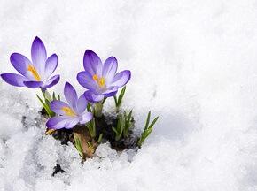 Krokusse kündigen den nahenden Frühling an © Irina - Fotolia.com