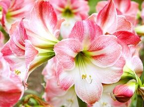 Die Amaryllis gibt es in vielen verschiedenen Farben © varts - Fotolia.com