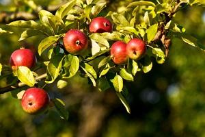 Apfelbäume kann man ruhig auch im Sommer schneiden © focus finder - Fotolia.com