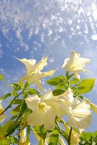 Die Engelstrompete fühlt sich im Sommer auch im Garten wohl © Christian Pedant - Fotolia.com