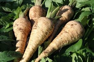 Die Pastinake gehörte einst auch zu den fast vergessenen Gemüsesorten © Andrea Tanja - Fotolia.com