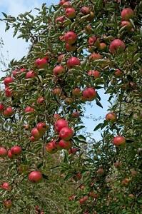 Apfelbäume sind in deutschen Gärten ganz besonders beliebt © M. Schuppich - Fotolia.com