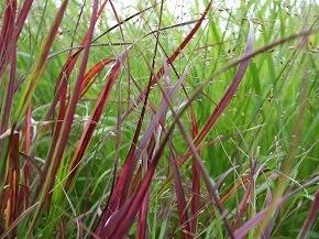 Gräsersorten gräser für die bepflanzung rund um den teich garten ratgeber
