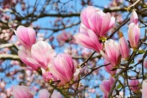 magnolie pflanzen biorhythmuskalender. Black Bedroom Furniture Sets. Home Design Ideas