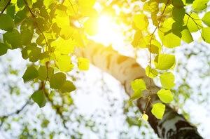 Birken fühlen sich in der Sonne am wohlsten © Leonid Ikan - Fotolia.com