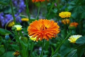 Die Ringelblume schließt ihre Blüten wenn Regen droht