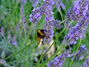 Lavendel ist im Garten sehr vielseitig einsetzbar