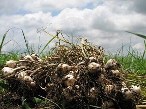 Die Knoblauch-Ernte erfolgt im Sommer