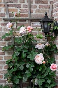 Nach der Blütezeit müssen Rosen zurück geschnitten werden.