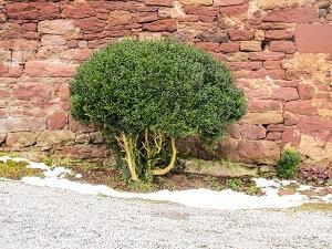 Der Buchsbaum ist in zahlreichen Gärten vertreten