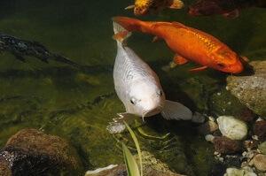 Zu viel Fischfutter kann das Algenwachstum stark fördern © Onkelchen - Fotolia.com