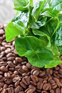 Die Kaffeepflanze ist auch eine hübsche Zimmerpflanze © PhotoSG - Fotolia.com