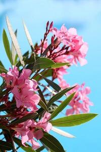 Der Oleander gehört zu den beliebtesten Kübelpflanzen © natuska106 - Fotolia.com