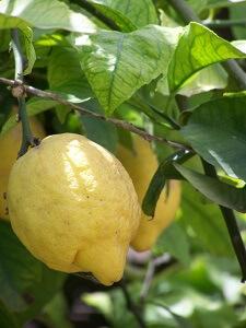 Zitronen gedeihen auch bei uns sehr gut