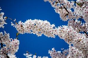 Kirschbäume verzaubern mit ihren wunderschönen Blüten