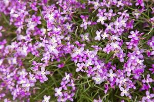 Levkojen sind nicht nur hübsch sondern duften auch herrlich © Tamara Kulikova - Fotolia.com