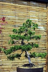 Bonsais gehören unbedingt in einen japanischen Garten © Igor Tarasov - Fotolia.com