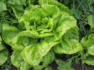 Kopfsalat kann man im September noch pflanzen