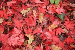 Herbstlaub kann man auf vielfältige Weise im Garten nutzen