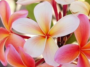 Die Frangipani gibt es unzähligen Farben