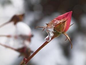 Rosen brauchen im Winter einen Schutz vor starkem Frost