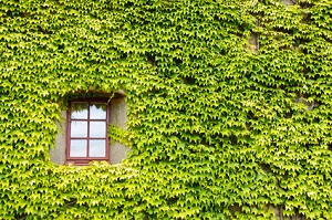Mit Efeu kann man ganze Fassaden begrünen © ale_rizzo - Fotolia.com