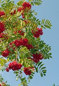 Die Eberesche (Vogelbeere) kann bis zu 15 Meter hoch werden © M. Schuppich - Fotolia.com