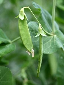 Erbsen Pflanzen Garten Pflege Tipps ? Sarakane.info Erbsen Pflanzen Garten Pflege Tipps