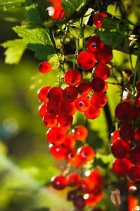 Rote Johannisbeeren werden am besten im März gepflanzt © Igor Sokolov - Fotolia.com