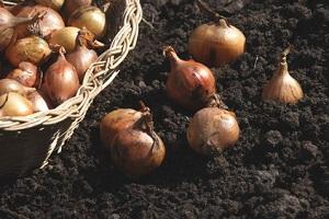Steckzwiebeln kann man viel eher ernten © petrabarz - Fotolia.com