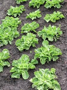 Endivie lässt sich gut im Garten anbauen