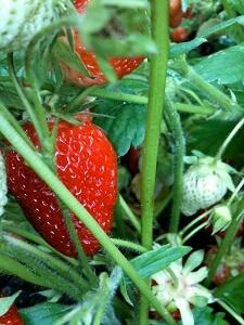 Ab Mai macht sich der Käfer an den Erdbeerpflanzen zu schaffen
