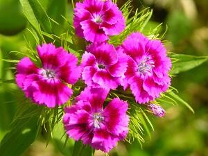 Nelken ? Die Göttlichen Blumen | Garten-ratgeber.net | Garten ... Nelken Im Garten Pflanzen Arten Blumen Tipps