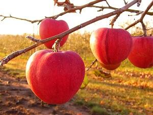 Manche Apfelsorten haben außer einer roten Schale auch rotes Fruchtfleisch