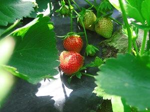 Erdbeeren sollte man von unten vor Feuchtigkeit schützen
