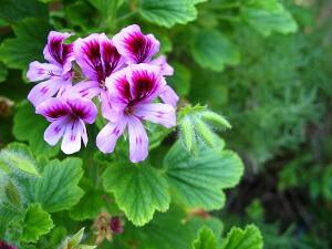Beliebte Balkonpflanzen Die Geranien Garten Ratgeber Net Garten