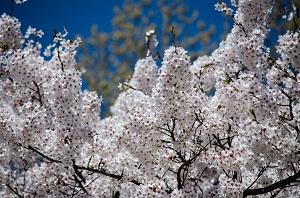 Pilzinfektionen kommen bei Kirschbäumen häufiger vor
