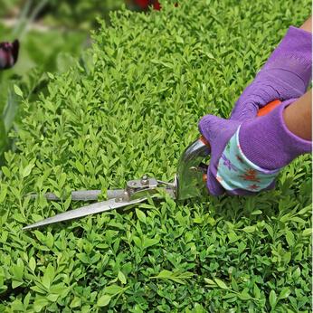 Buchsbäume müssen sorgfältig beschnitten werden © tsach - Fotolia.com