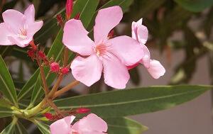 Der Oleanderkrebs ist bei den mediterranen Pflanzen leider häufig