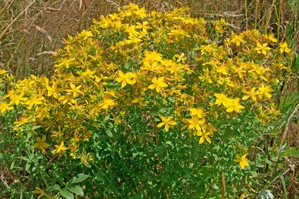 Johanniskraut blüht auch sehr hübsch © M. Schuppich - Fotolia.com