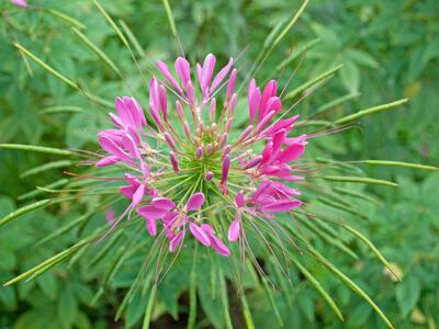 Die Spinnenblume (Cleome) macht optisch ordentlich was her © M. Schuppich - Fotolia.com